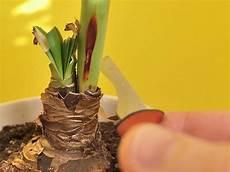 amaryllis pflege nach blüte amaryllis pflege kinderleicht meine 6 tipps parzelle94 de