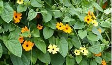 Plantes Annuelles Grimpantes Id 233 Ales Pour Habiller Et