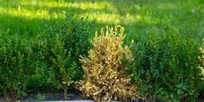 buchsbaum wird nach umpflanzen gelb 187 woran kann s liegen
