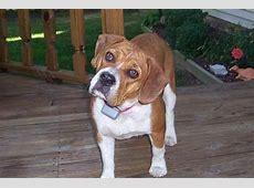 Beabull (Beagle X Bulldog Mix) Info, Temperament, Training