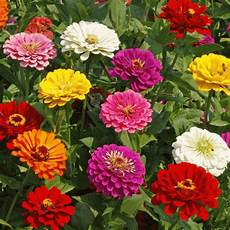 California Zinnia Seeds Bulk Zinnia Flower Seed Mix