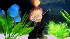 vasca per discus il mio acquario con discus a gennaio 2012
