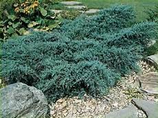arbuste croissance rapide les plantes couvre sol