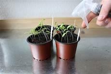 tomaten pikieren wann und wie anleitung in 5 schritten