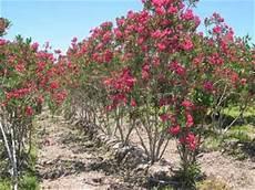 flor del estado barinas estado barinas flora