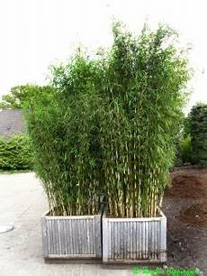 bambus winterhart im k 252 bel amilton