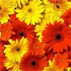 significato dei fiori gerbera significato dei fiori significato fiori conoscere il