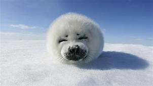 Animals Smiling Baby Seal Picture Nr 33840