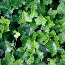 efeu winterhart kaufen pflanzen f 252 r nassen boden