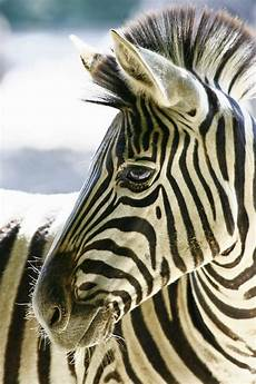 zebra bild zebra portrait foto bild tiere zoo wildpark