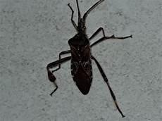 können kakerlaken fliegen was ist das f 252 r ein insekt kakerlake wer kann helfen
