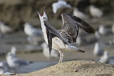 katwijk aan zee cing caspian gulls at katwijk aan zee 20131019 gulls to the