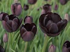 black flowers for your garden saga
