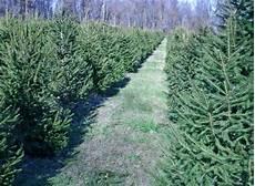 buy hedges tree