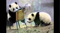 15 Gambar Panda Yang Lucu Dan Menggemaskan