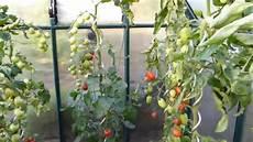 Tomaten Pflegen