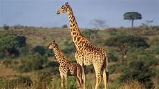 die giraffe wildtiere giraffen wildtiere natur planet wissen