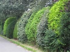 lebender zaun immergrün hecke aus verschiedenen pflanzen живая изгородь