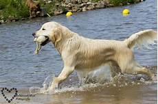 golden retriever gewicht hondenforum