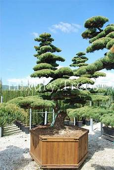 Bonsai Baum Kaufen - the most expensive bonsai trees 187 luxurytrees 174