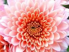 flower wallpaper beautiful flowers cherysanthmum