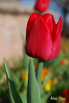 30 Gambar Bunga Tulip Mawar Inspirasi Spesial