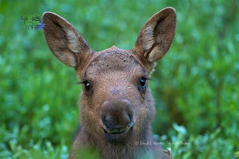 Moose Calf Portrait, This Little