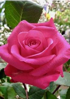 Beautiful Pink Image beautiful pink with images beautiful roses
