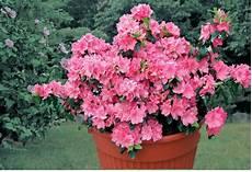 fiori azalee azalee cure e coltivazione fai da te in giardino