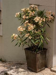 Oleander Draussen überwintern - der oleander im winter schutz und pflege f 252 r den k 252 belstar