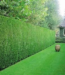 Schnellwachsende Hecke Immergrün - leyland cypressen haag outdoor ideas zypressen