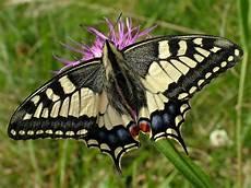 Weißer Schmetterling Bedeutung - bund schmetterling des jahres 2006 schwalbenschwanz