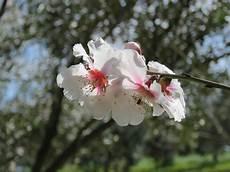 fiori mandorlo fiori di mandorlo flowers plants 雜 garden