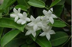 piante da appartamento con fiori bianchi gelsomino madagascar stephanotis floribunda