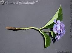 hortensie vermehren stecklinge bewurzeln oder teilen
