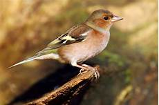 vogelwelt im eigenen garten stunde der gartenv 246 gel nabu baden w 252 rttemberg