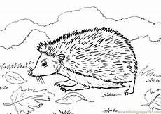 hedgehog coloring page free hedgehog coloring pages