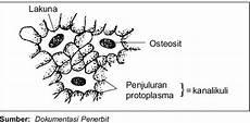 seputar kandungan struktur dan fungsi jaringan tulang