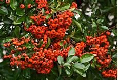 pflanze mit roten beeren rote beeren im herbst foto bild pflanzen pilze