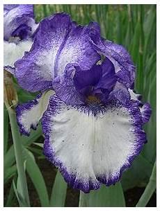 iris fiore immagini iris subg iris