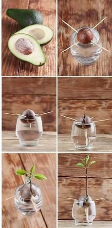 Avocado Zu Hause So Werden Sie Selber Einen Avocadobaum