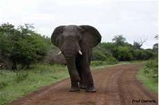 Malvorlage Afrikanischer Elefant Afrikanischer Elefant Foto Bild Tiere Wildlife