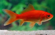 wann laichen kois genug goldfisch dicker bauch fs24 casaramonaacademy