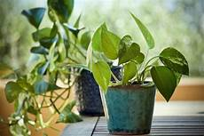 zimmerpflanzen für dunkle räume wie wirken sich pflanzen generell auf das raumklima aus plantura