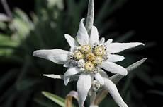 fiore edelweiss file alpen edelwei 223 leontopodium alpinum 2 jpg