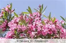 Oleanderbaum Pflege Zur 252 Ckschneiden Und 220 Berwintern