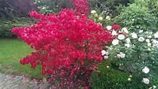 strauch rote blätter wie heist der im herbst rote busch freizeit rot