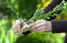 buchsbaum selbst vermehren buchsbaum buche baum und
