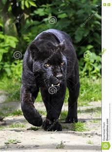 Jaguar Noir Marchant Vers La Visionneuse Photo Stock