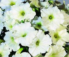 50 Pelleted Seeds Logro White Petunia Seeds Large Flowers